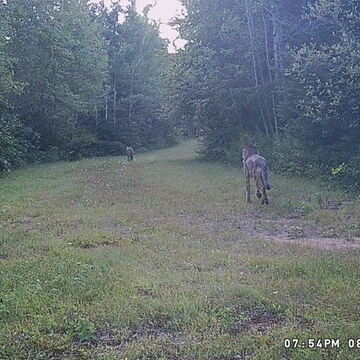 A Pair Of Coyote Caught On Camera