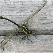 Large dragonfly, Elliot Lake.