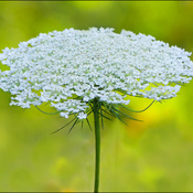 Queen anne's lace, Elliot Lake.
