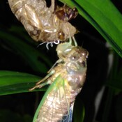 newly hatched cicada