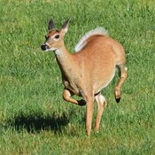 White-tailed Deer in a hurry