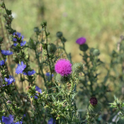 Thistle at the farm