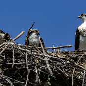 Three Amigos (Ospreys)