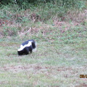 Skunk Looking For Grubs
