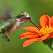 hummer on my tithonia