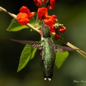 Hummingbird Loving Scarlet flowers