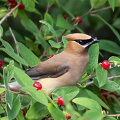 Cedar Waxwing enjoying berries