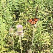 Monarch butterfly in East Point Park