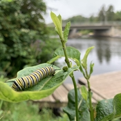 Sauble Caterpillar