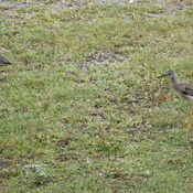 pair of sandpipers