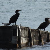 2 cormorants enjoying the afternoon sun