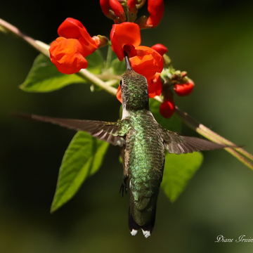 Hummingbird loving the scarlet flowers