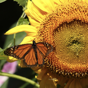 Monarch on the Sunflower