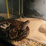 Our very affectionate ball python waiting to come out