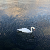 Beautiful Swan on Lake