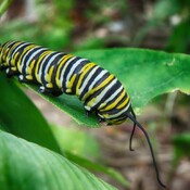 monarch caterpillar southampton, ontario, canada