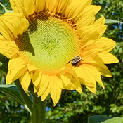 Sunflower and Bumble!
