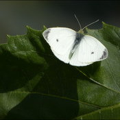 Cabbage white, Elliot Lake.