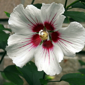 White Rose of Sharon 1