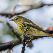 Warblers are migrating!