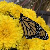 Monarch butterfly on yellow mums