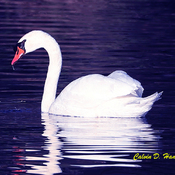 Magnificent Mute Swan