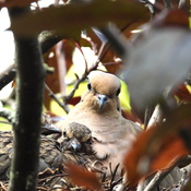 Young Morning Doves