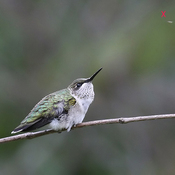 Hummingbird catch bugs