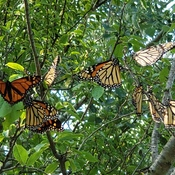 Migrating Monarchs on our trees