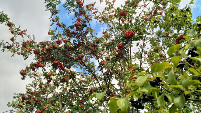 Mountain Ash Berries Aurora, ON