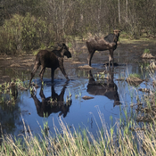 Moose in the marsh