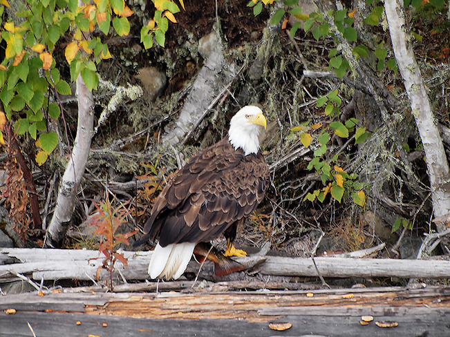 Bald Eagle with his prize catch. Unorganized Thunder Bay District, ON, Canada