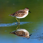 Least Sandpiper & Semipalmted