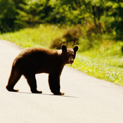 This bear crossed about 50 feet in front of me on my walk.