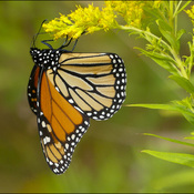 Monarch, Elliot Lake.