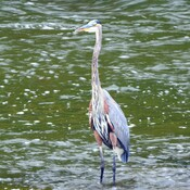 Great Blue Heron 2