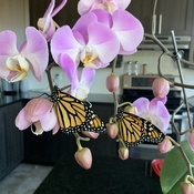 2 Monarch Butterflies hanging out on orchids