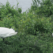 Pair of wild Mute Swans