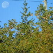 MORNING MOON IN MIDLAND ON