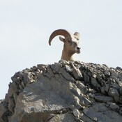 Mountain sheep peekaboo