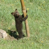 Pole dancing bear cub