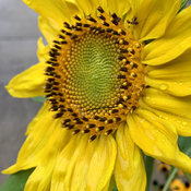 Raindrops on a sunflower