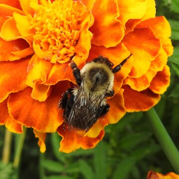 Bumble Bee on a Merigold 1