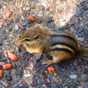 Chipmunk eating peanuts