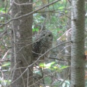 Barred Owl near Batawa trails