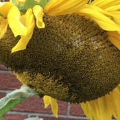 Struggling sunflower