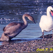 Another Mute Swan cygnet
