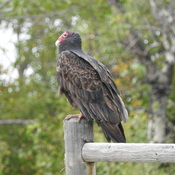Bonnyville AB Turkey Vulture only a mother could love