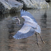 Great Blue Heron - Landing