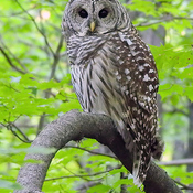 Barred Owl in Ottawa